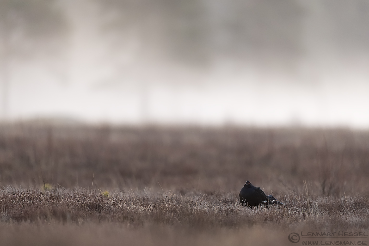 Black Grouse lek Lake Hornborga