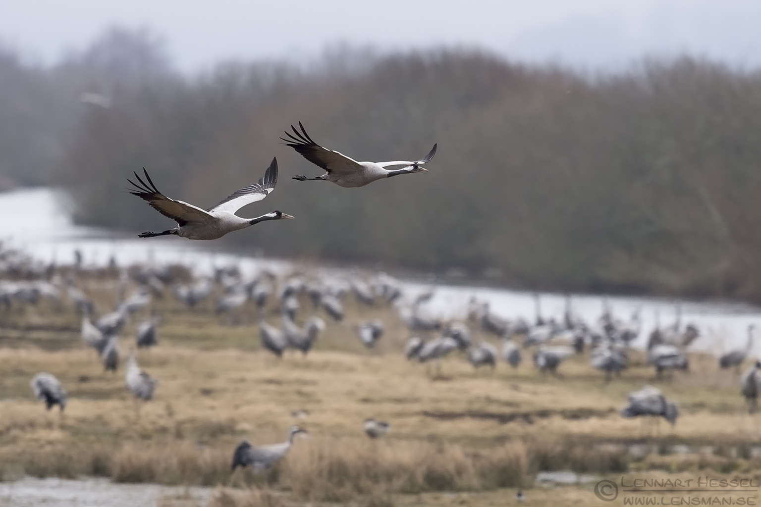 Common Cranes Lake Hornborga