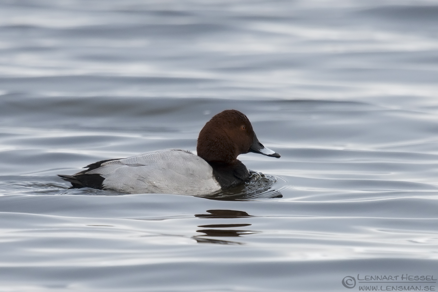 Common Pochard Lake Hornborga