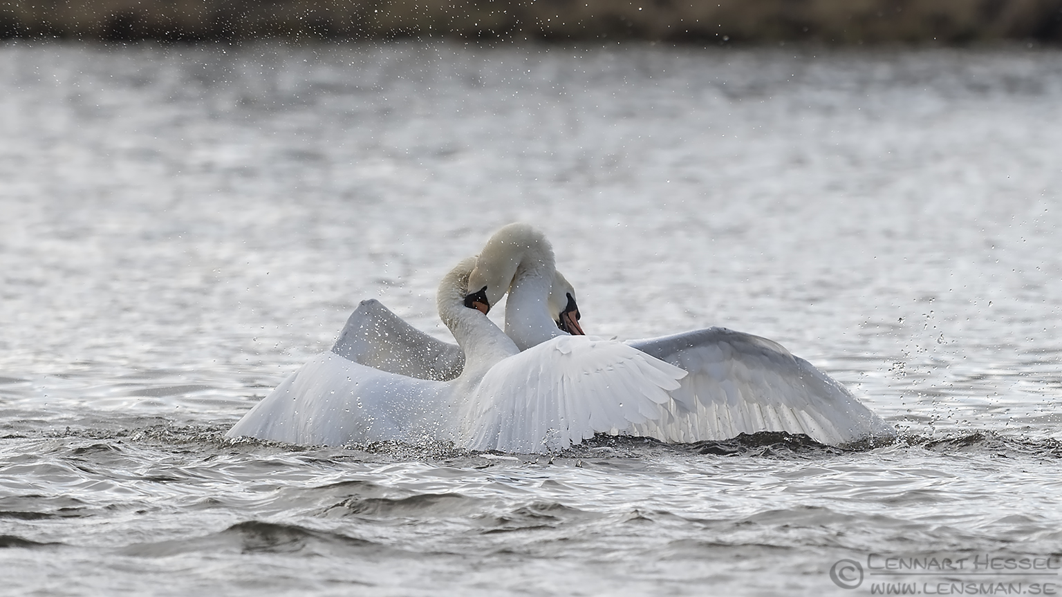 Mute Swans fight Lake Hornborga