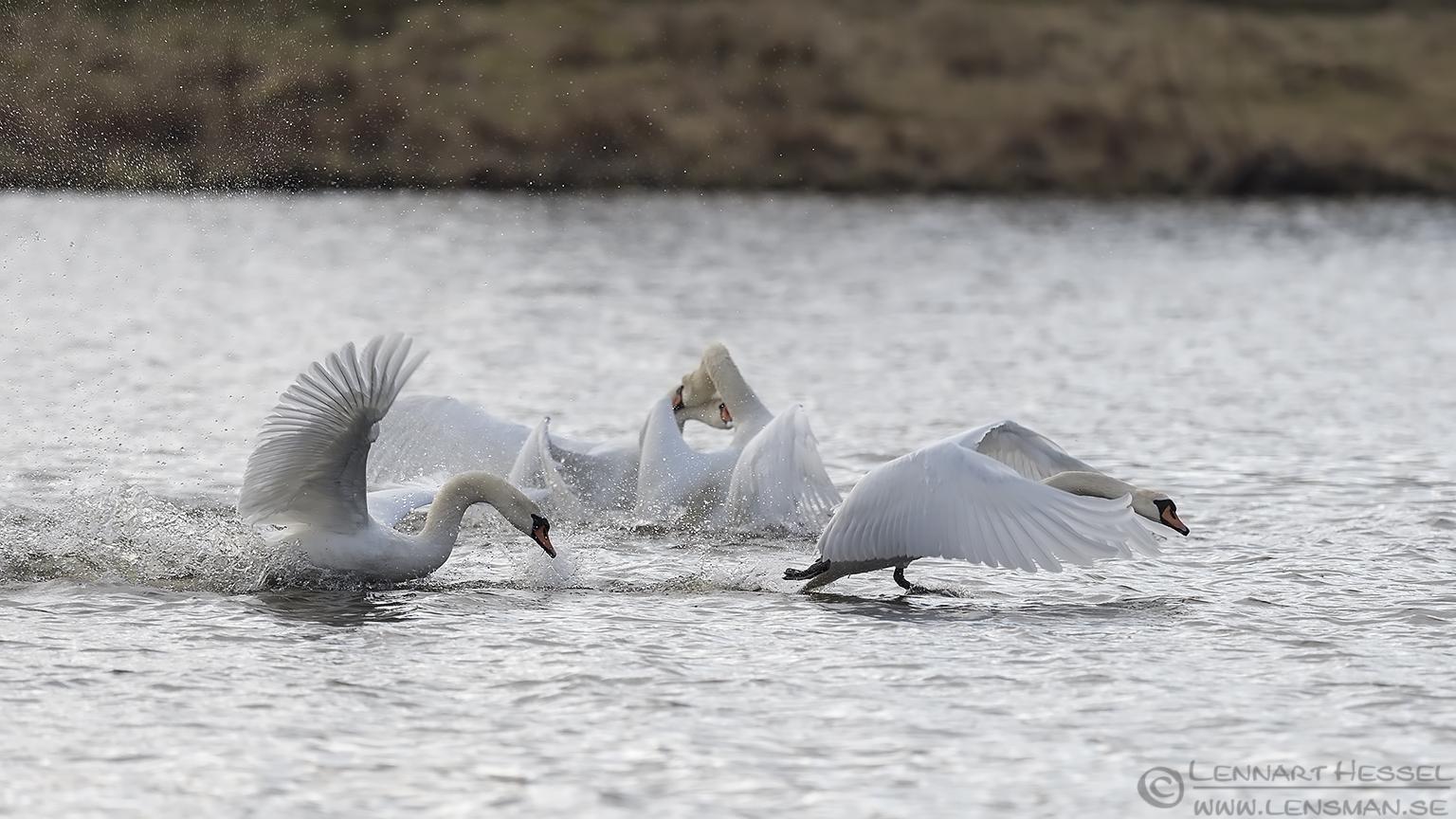 Mute Swans Lake Hornborga