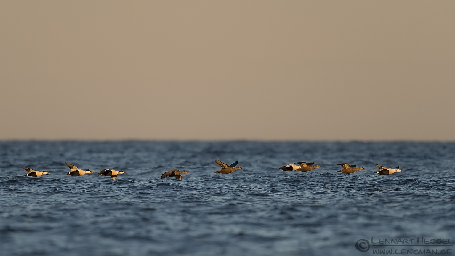 Common Eider formation
