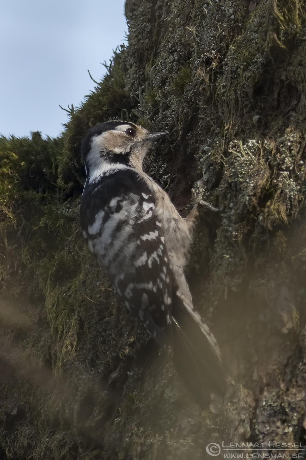 Lesser Spotted Woodpecker Säveån