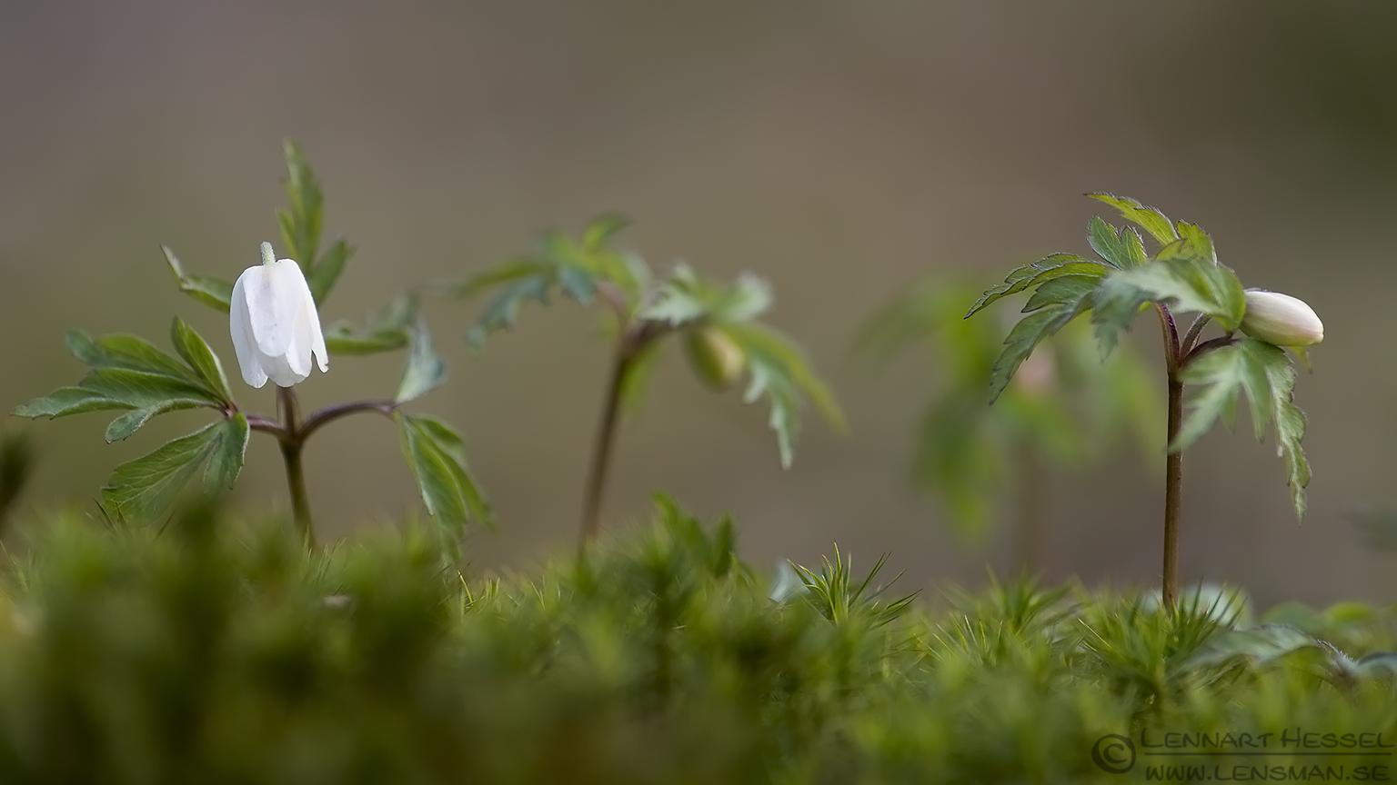 Wood Anemones Säveån