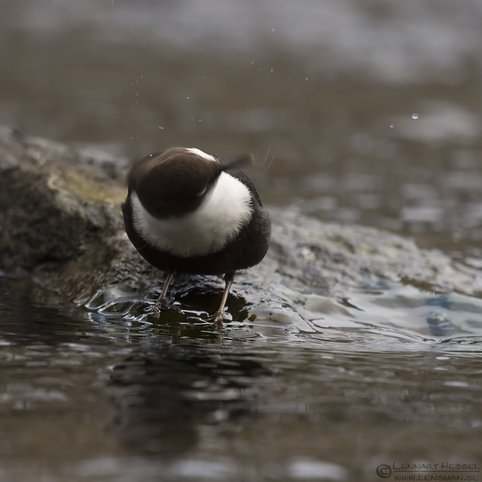 White-throated Dipper flying