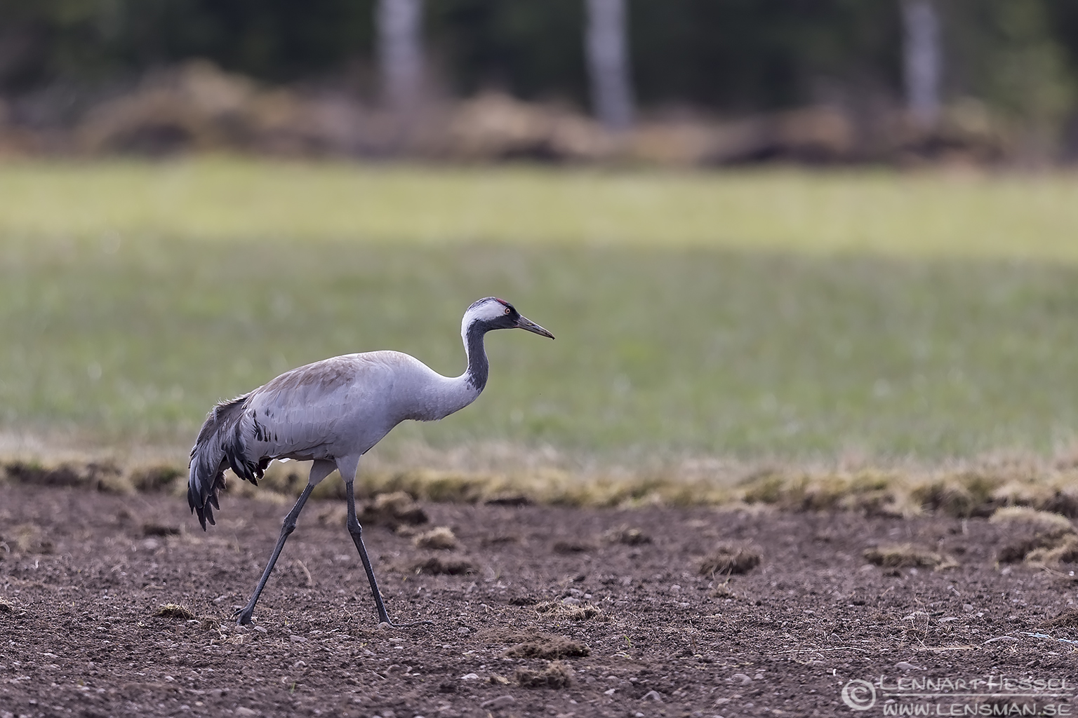 Common Crane visitor