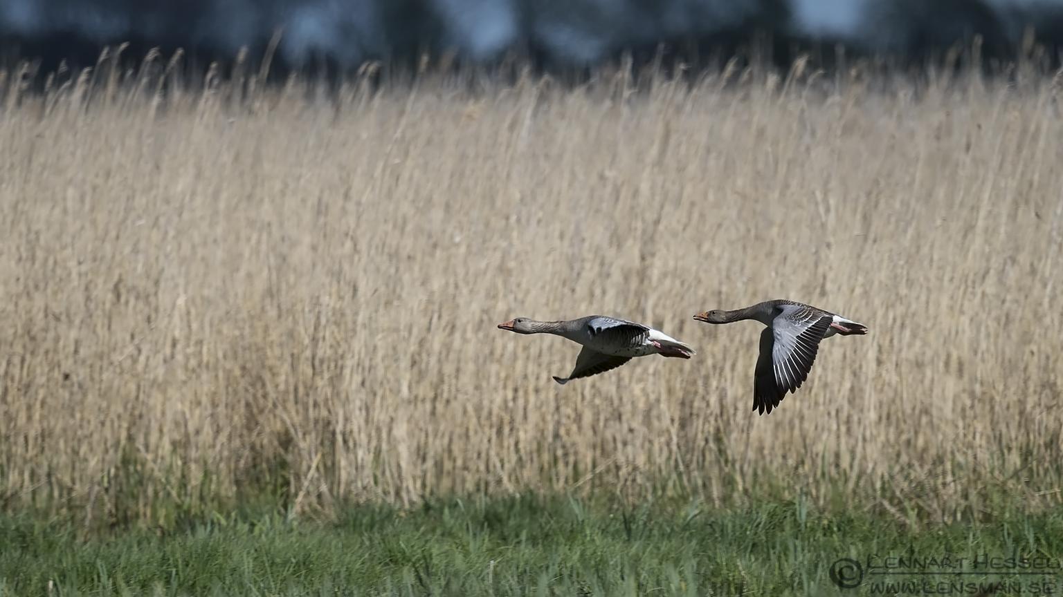 Greylag Goose Västmanland