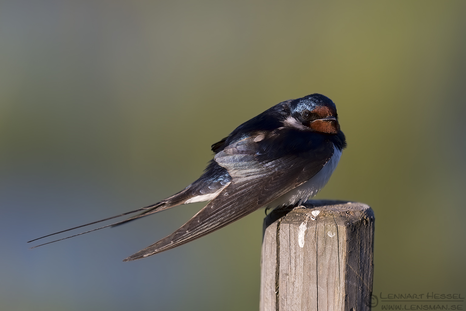 Barn Swallow Västmanland