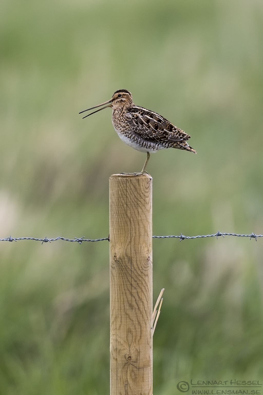 Common Snipe Västmanland
