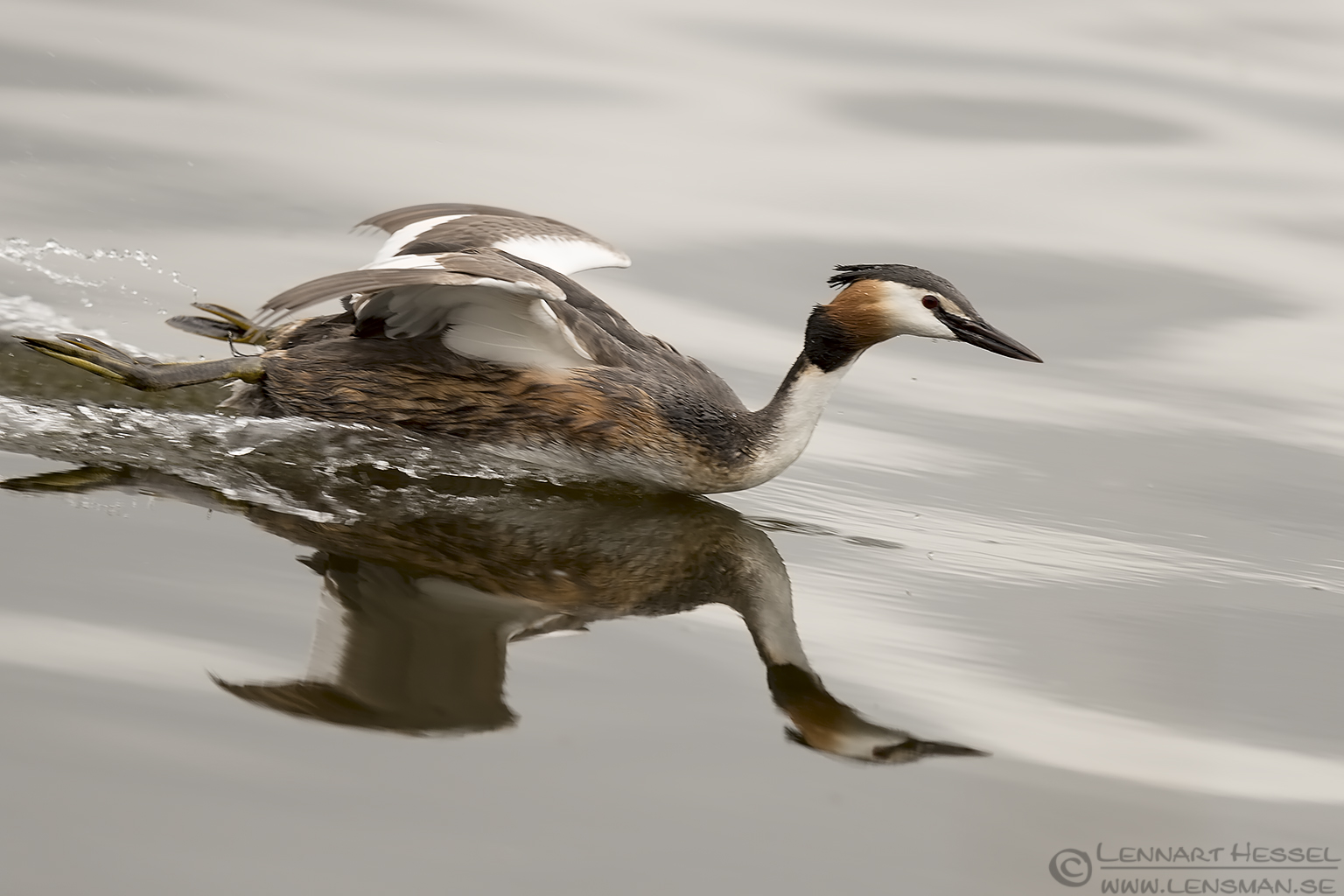 Great Crested Grebe Common Tern