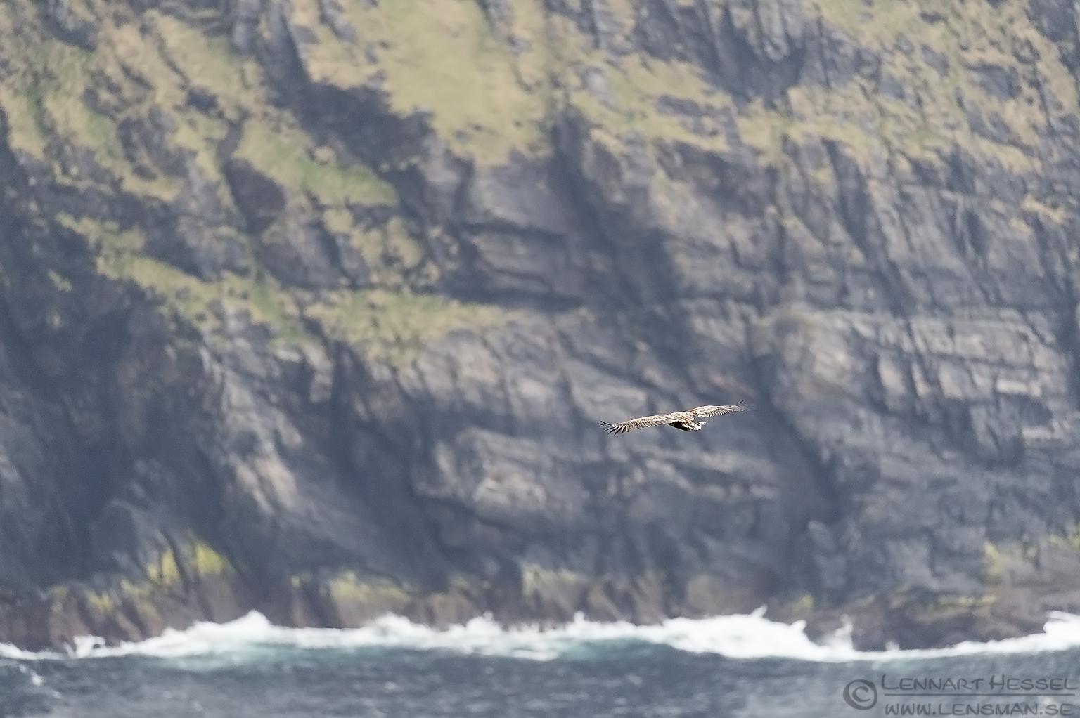 White-tailed Eagle in habitat Runde