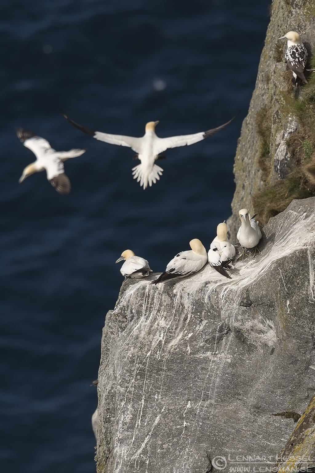 Northern Gannet colony life Runde