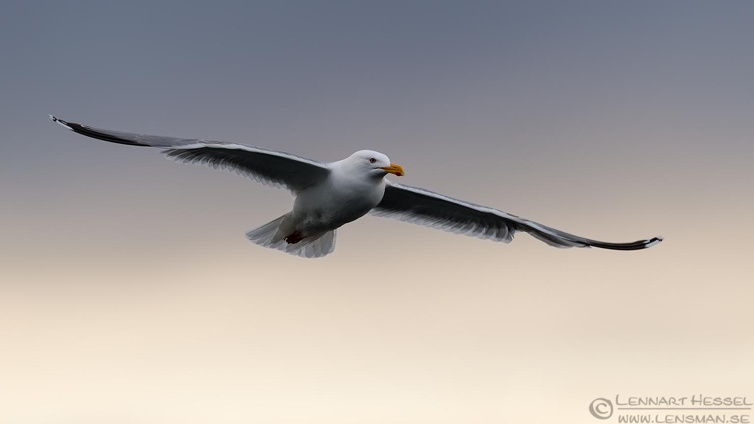 European Herring Gull Norway