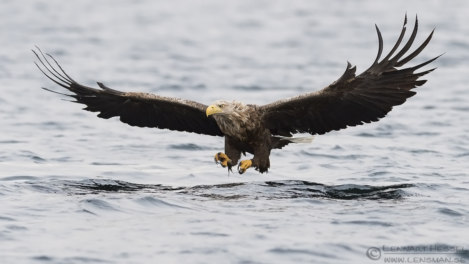 White-tailed Eagle Norway