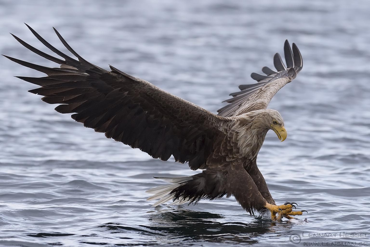 White-tailed Eagle Norway