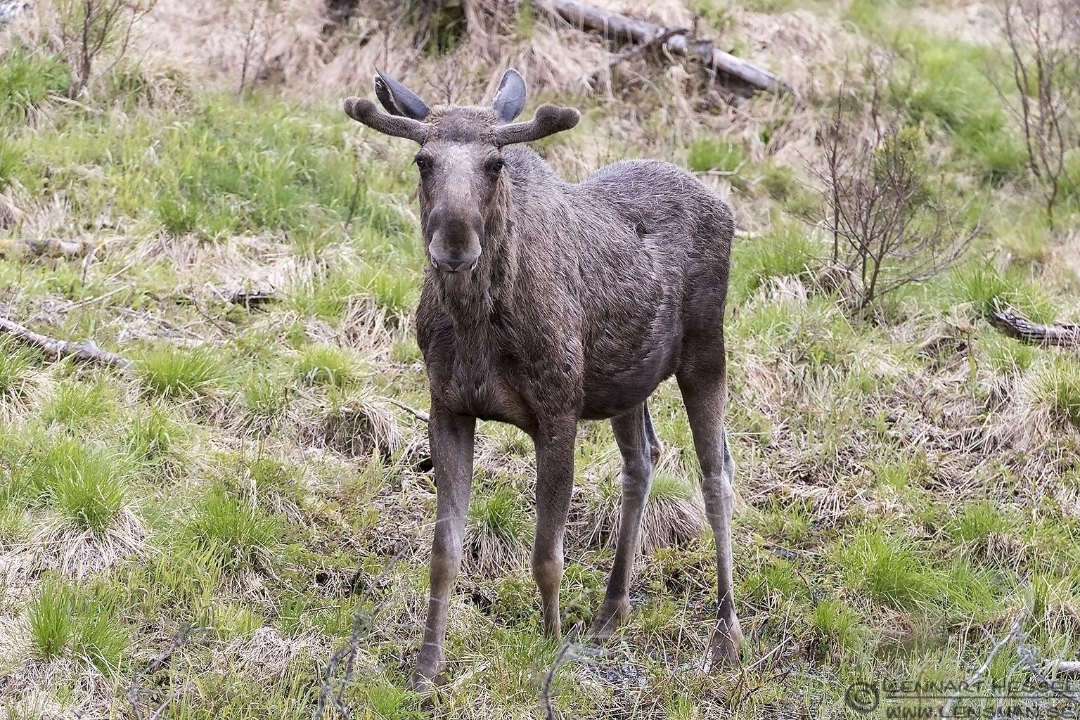 Moose Scandes