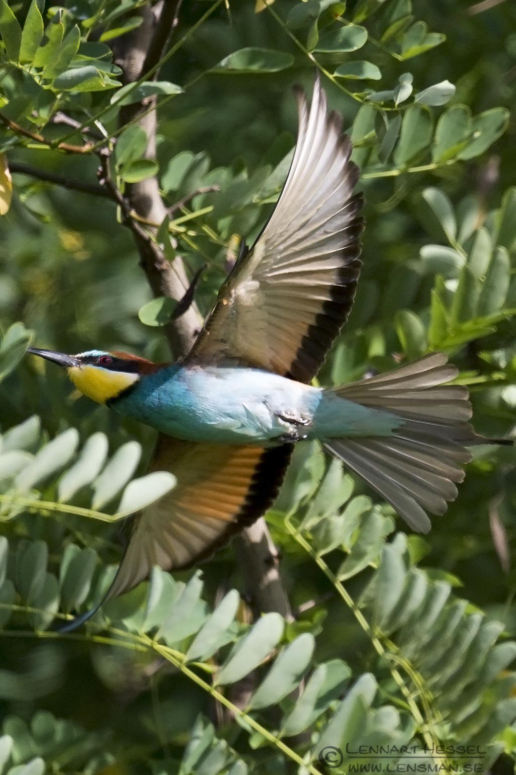 European Bee-eater Bonanza 2015