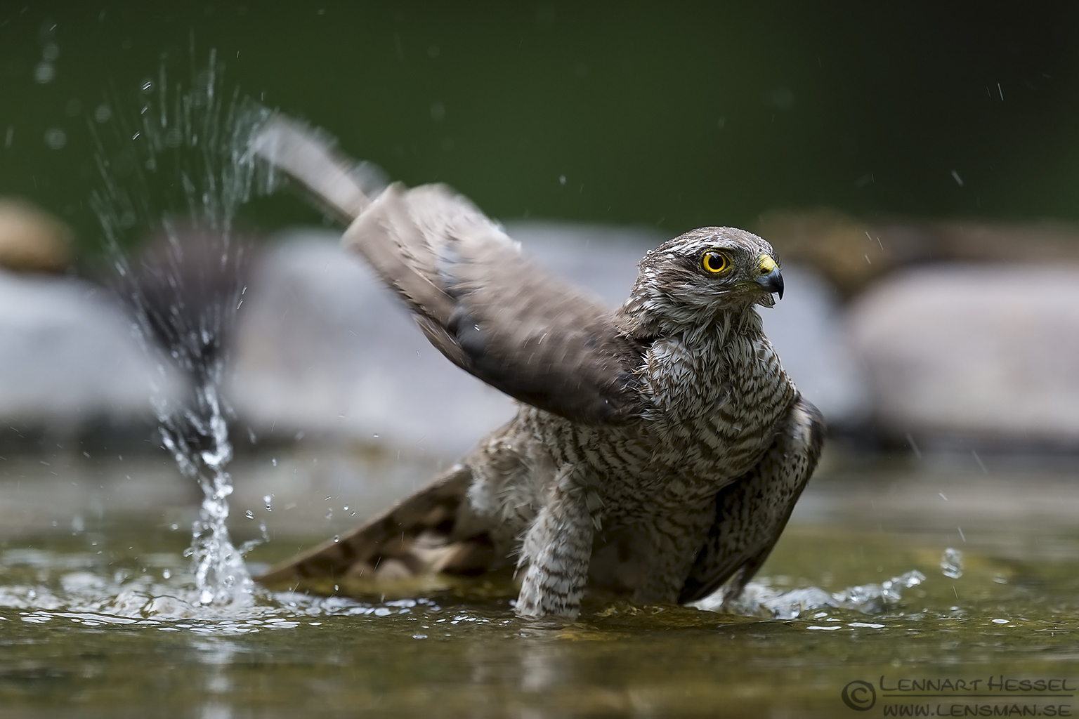 Eurasian Sparrowhawk Bee-eater Bonanza