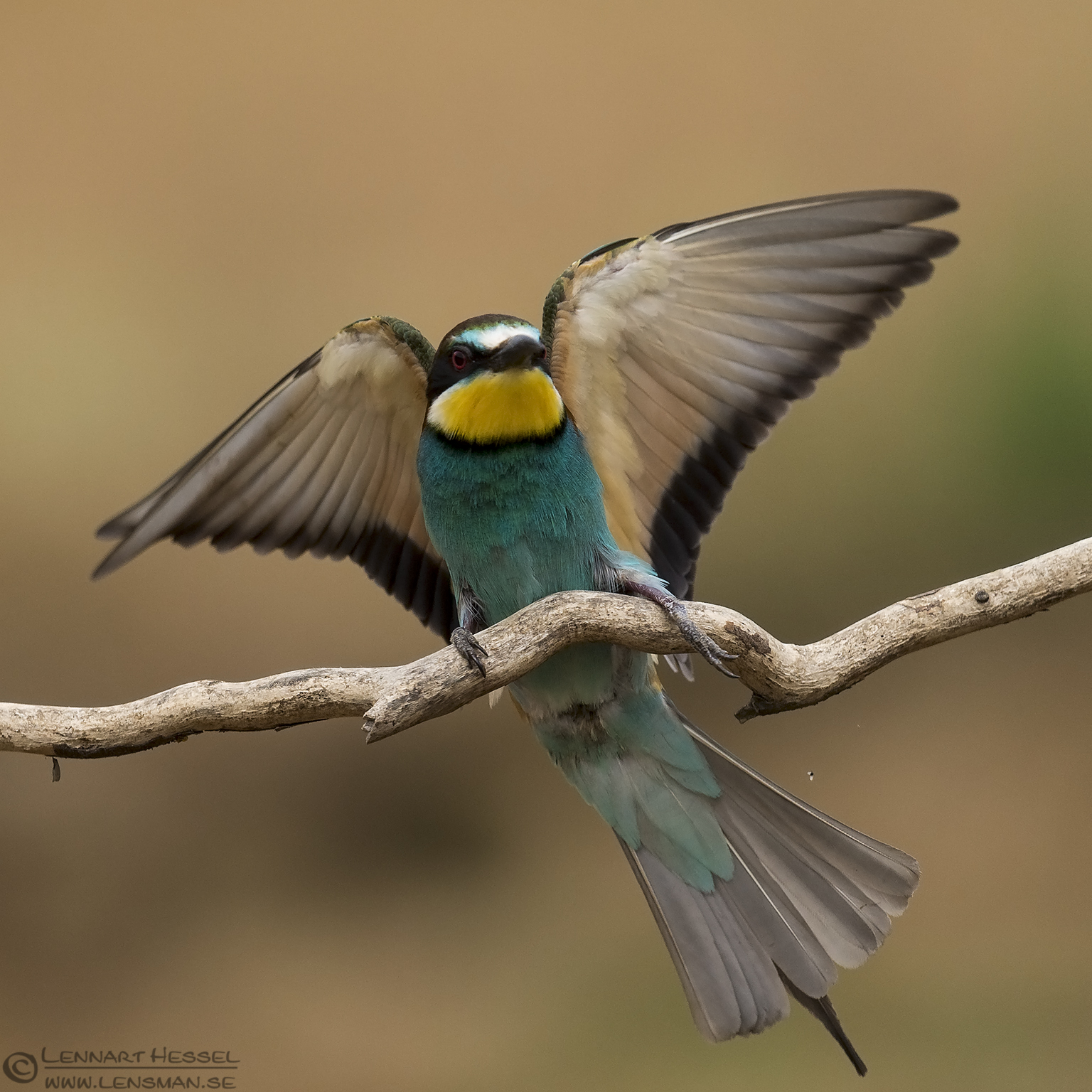 European Bee-eater Bonanza