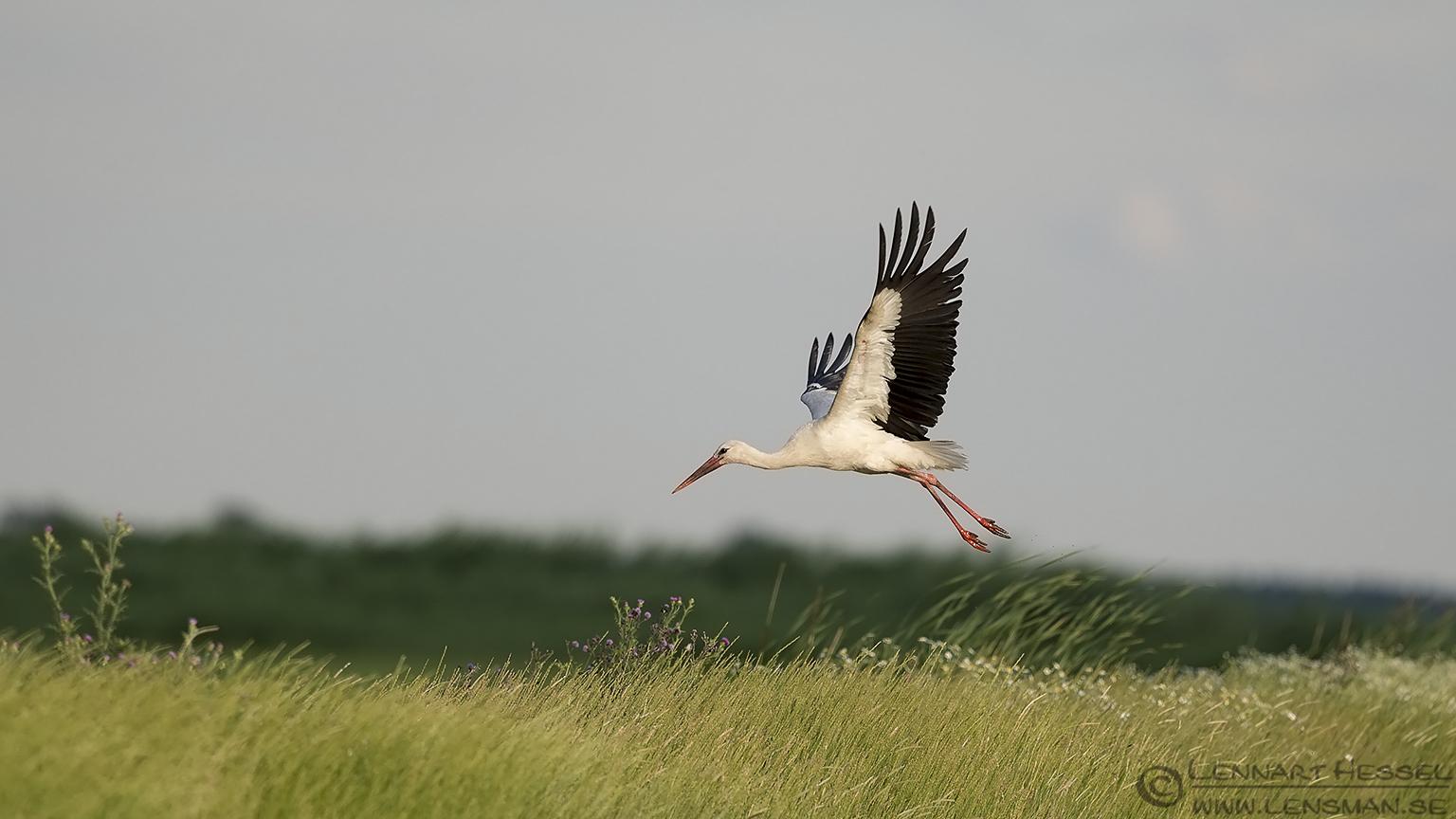 White Stork Bee-eater Bonanza