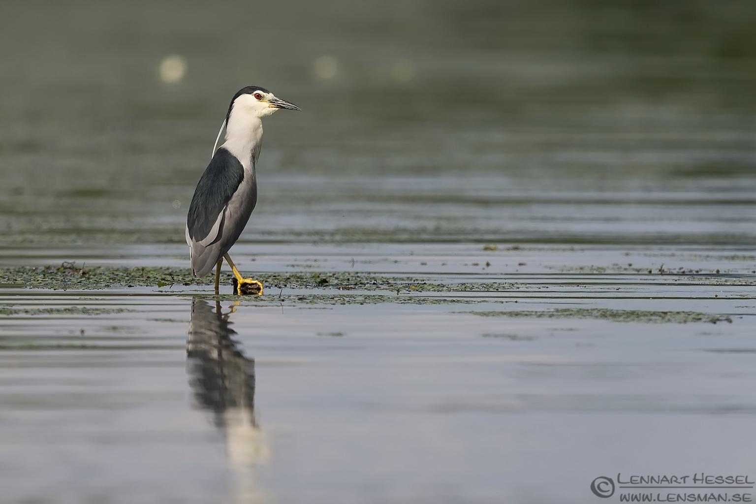 Black-crowned Night Heron bee-eater