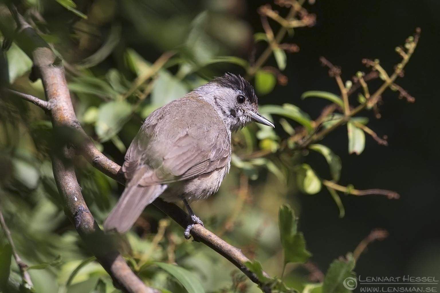 Blackcap bee-eater