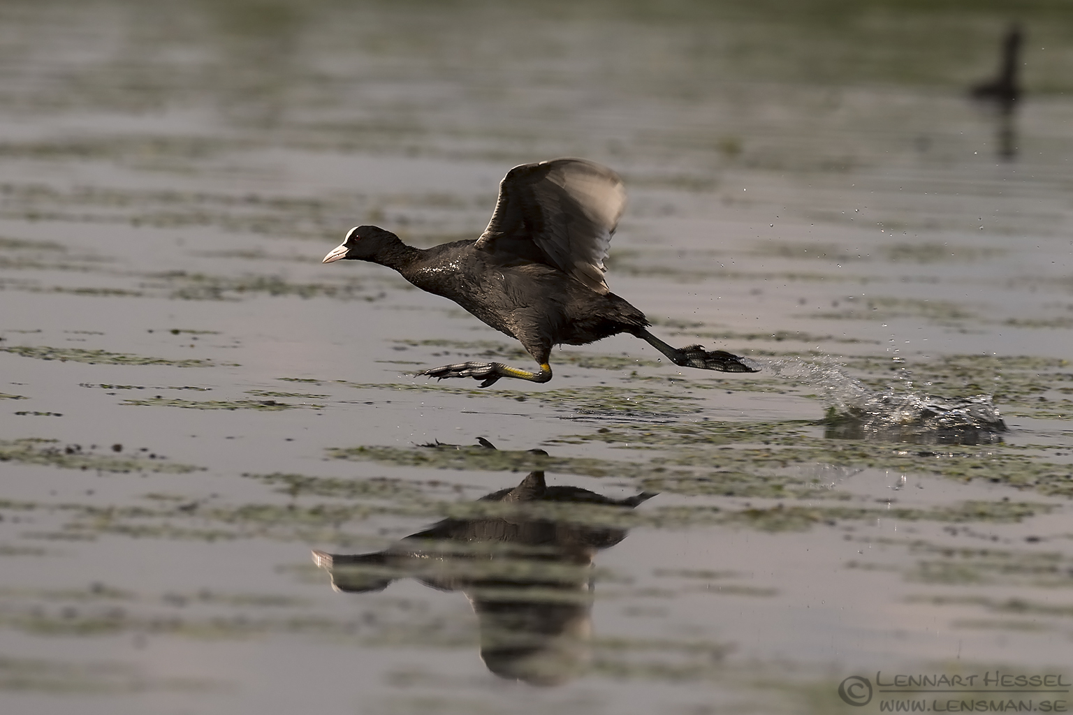 Running Eurasian Coot bee-eater