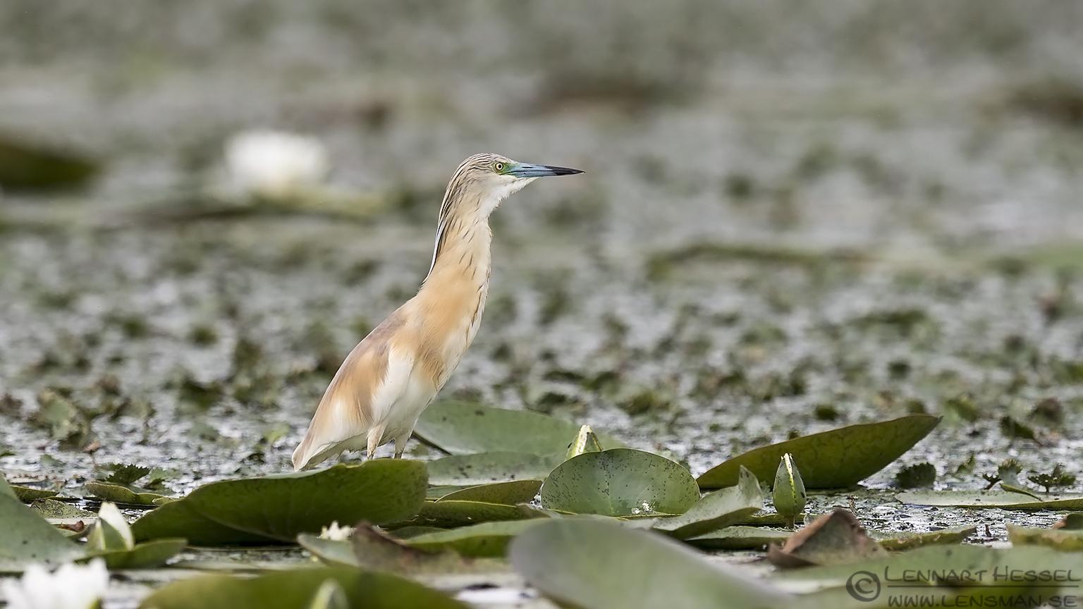 Squacco heron bee-eater