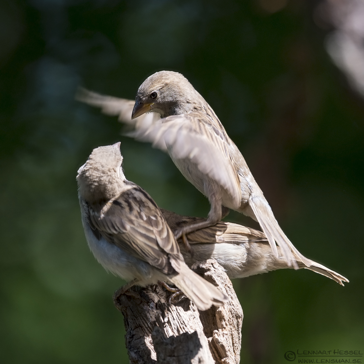 Tree SParrows bee-eater