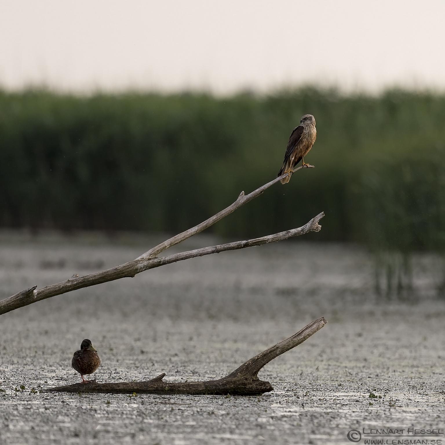 Western Marsh-harrier bee-eater