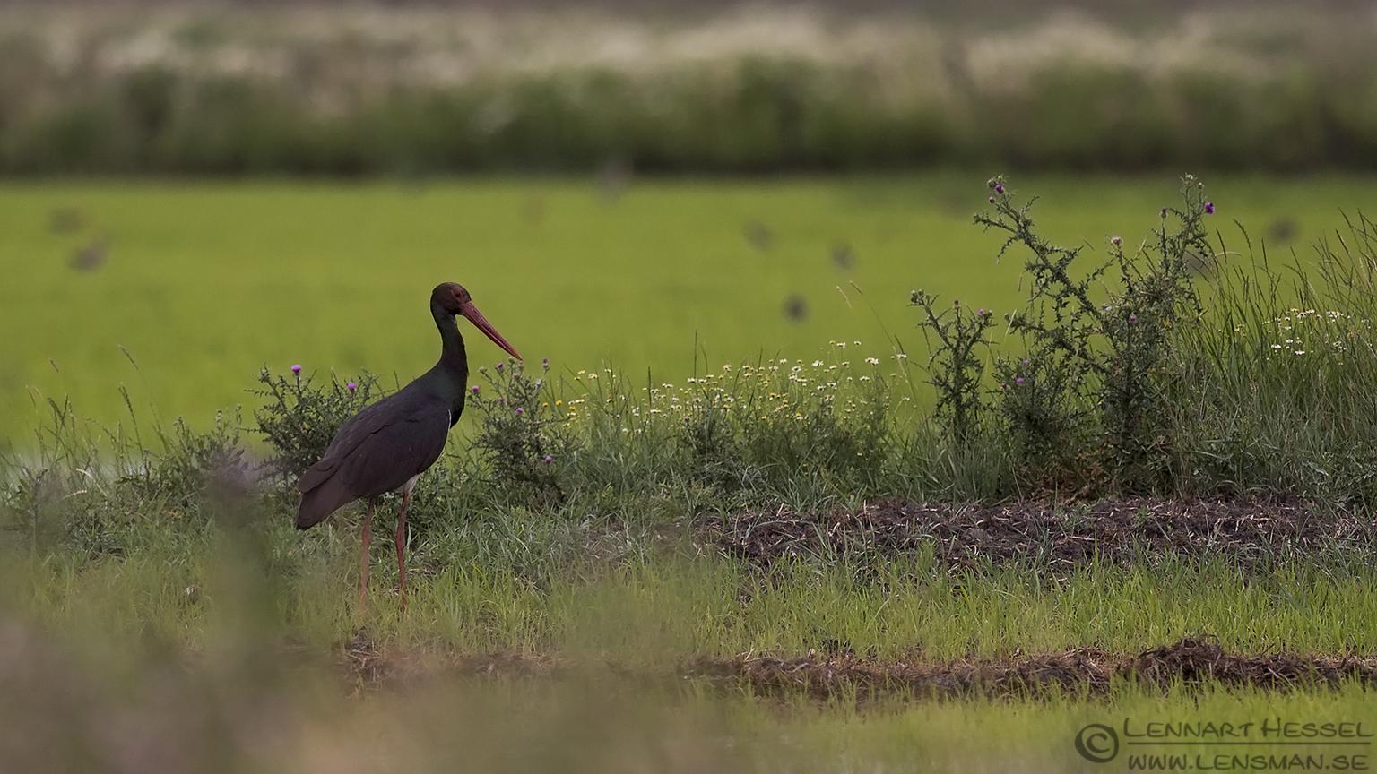 Black Stork Bee-eater