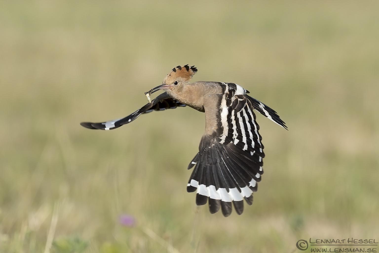 Flying Hoopoe bee-eater