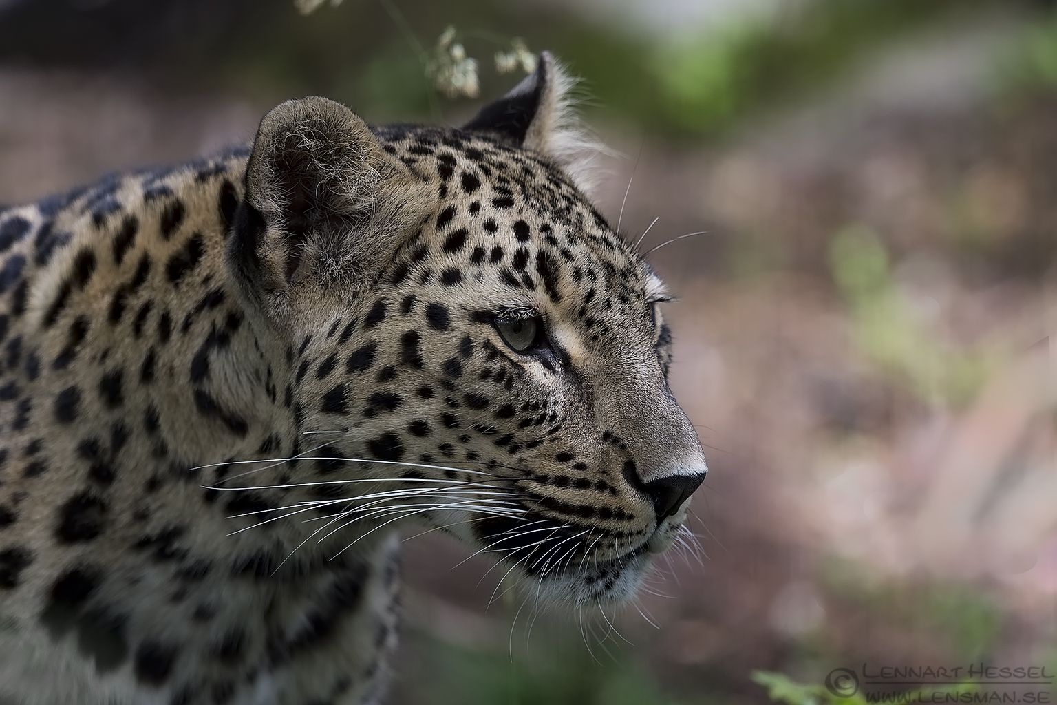 Persian Leopard months