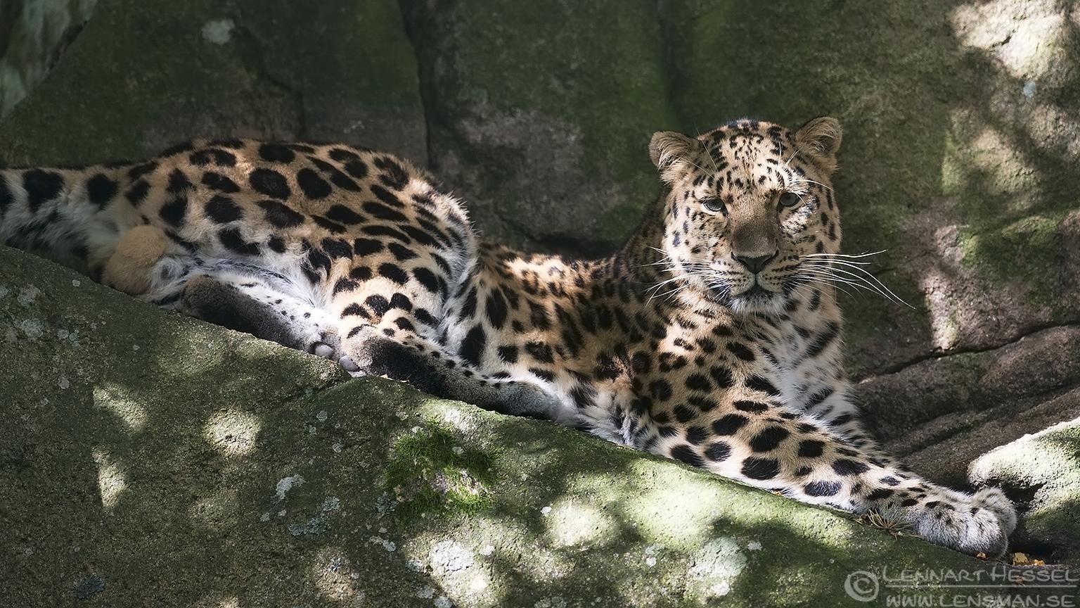 Amur leopard months