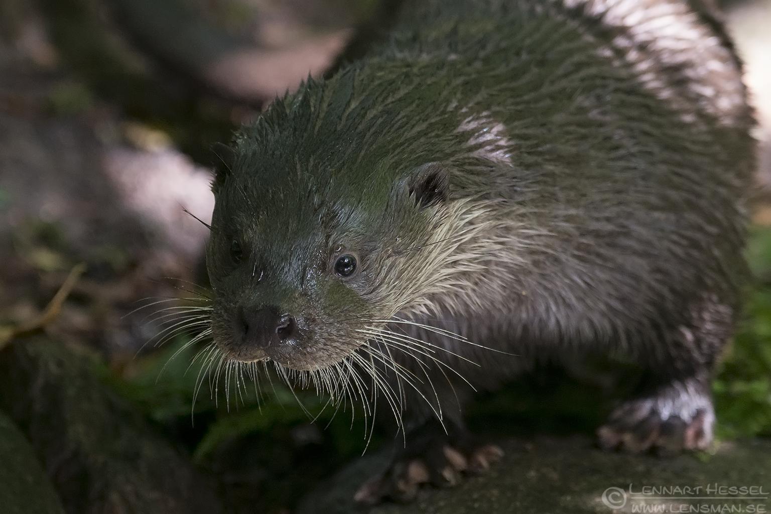 European Otter months