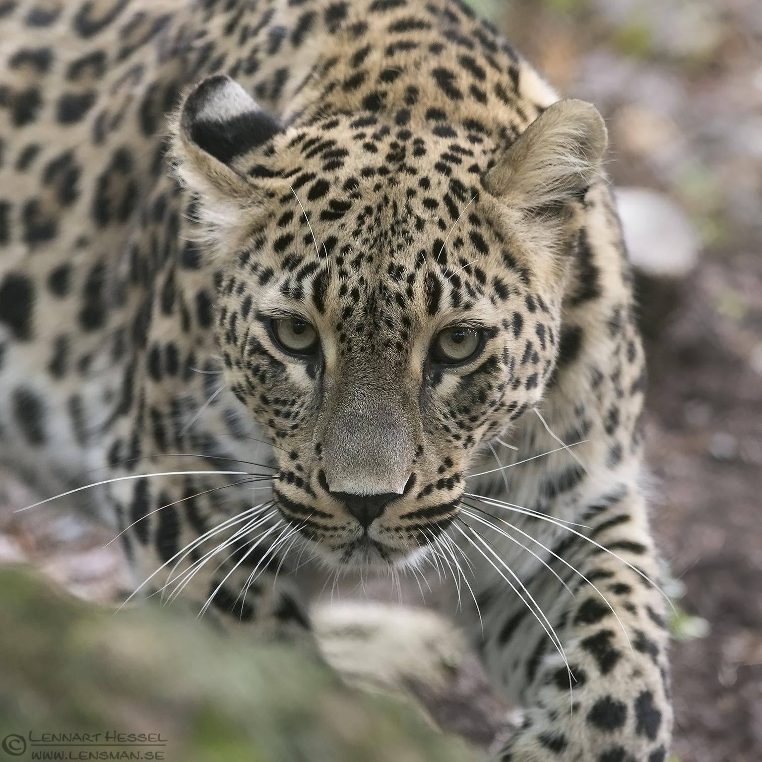 Persian Leopard stalk months
