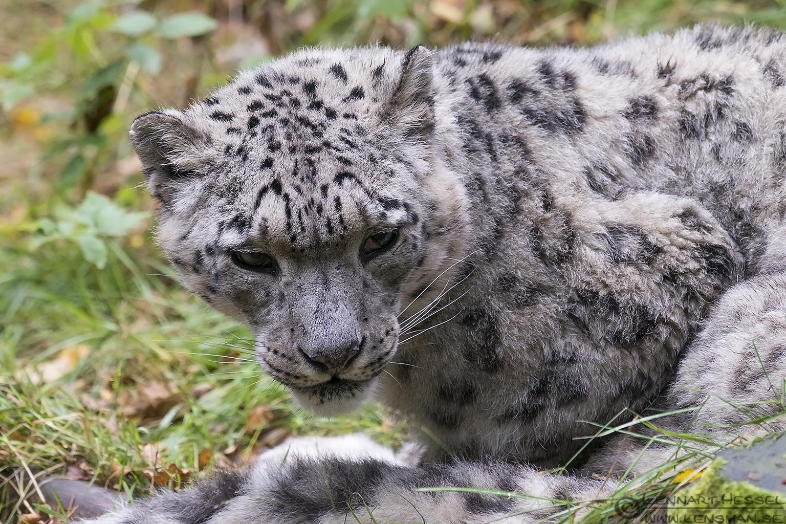 Snow leopard months