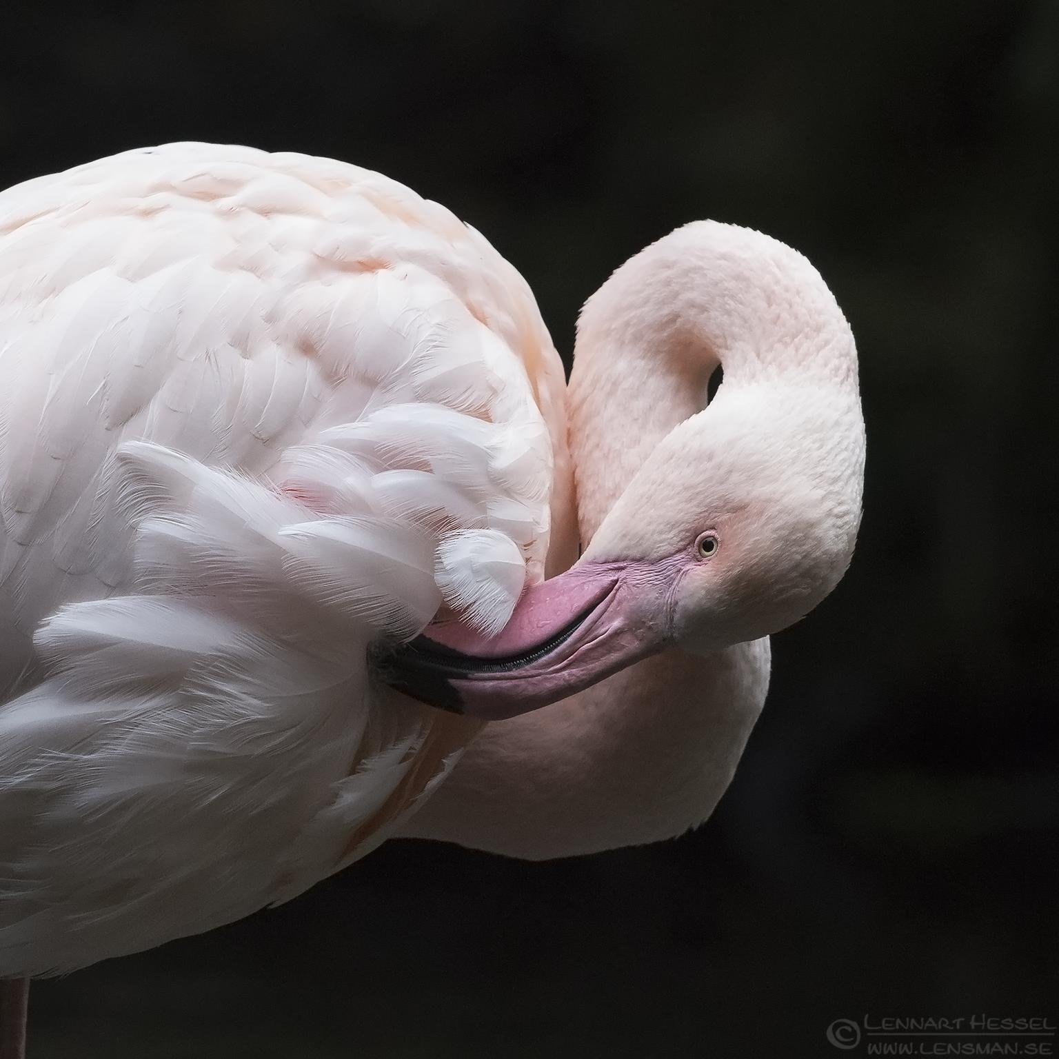Greater Flamingo preperations
