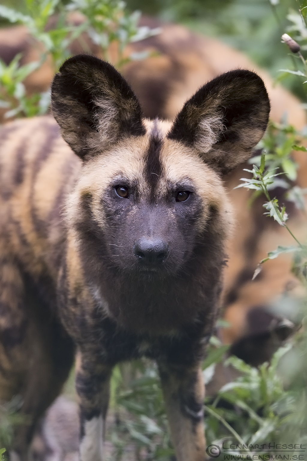African Wild Dog preperations