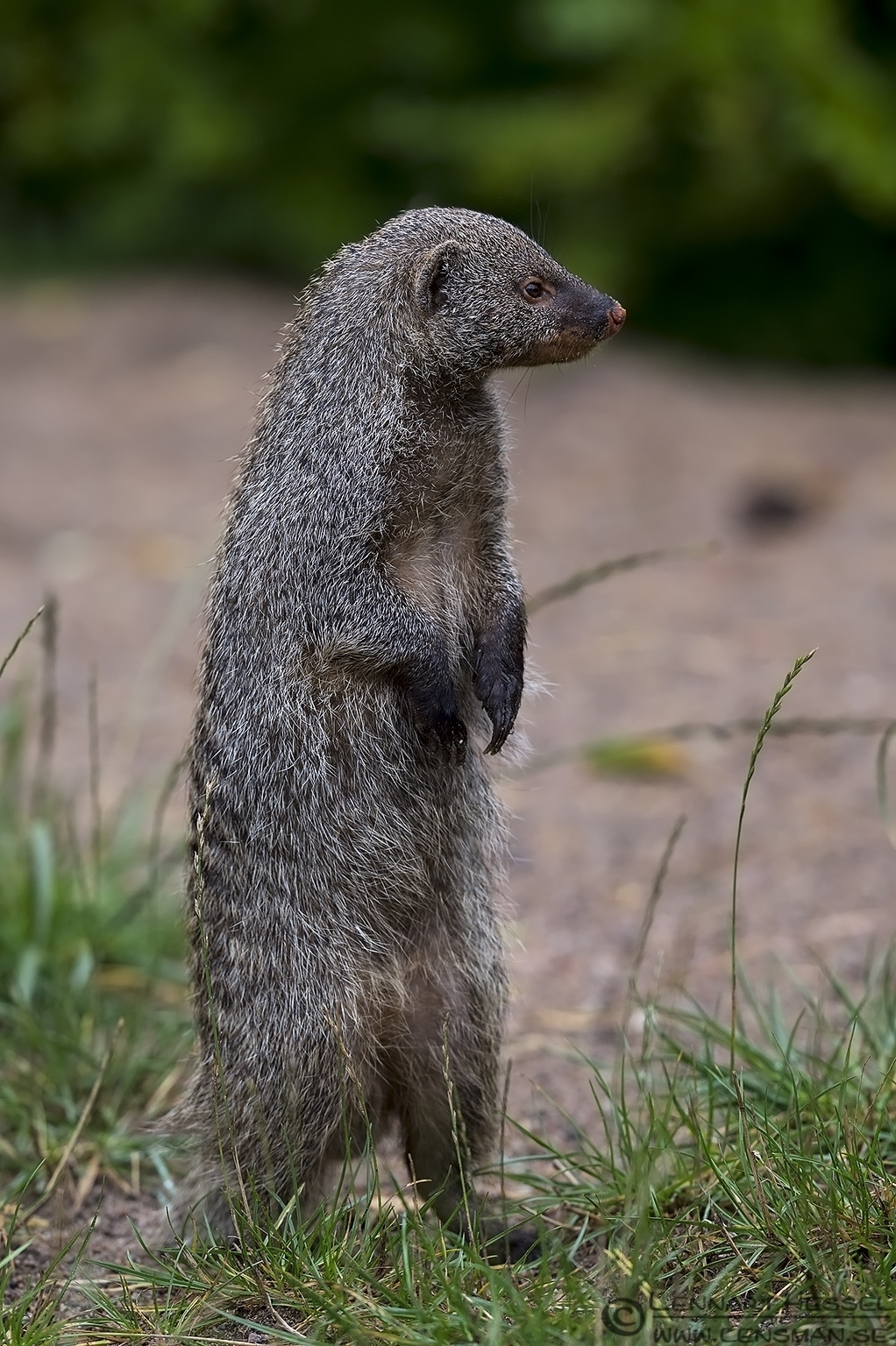 Banded Mongoose preperations
