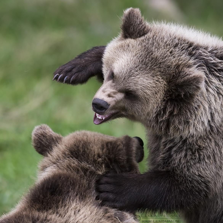 Brown Bear cubs fighting preparations