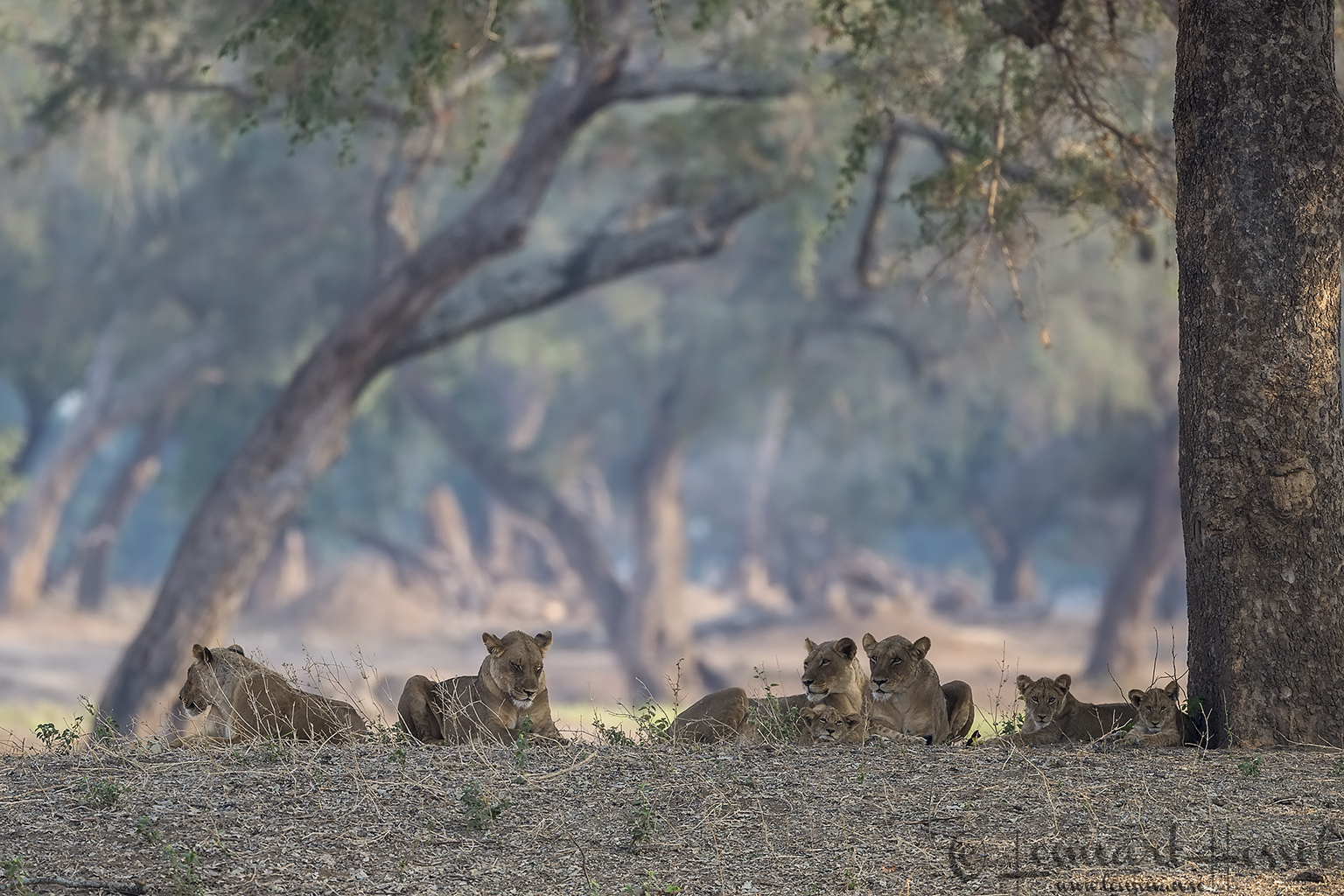Lion pride in Mana Pools 2015 Mana Pools National Park