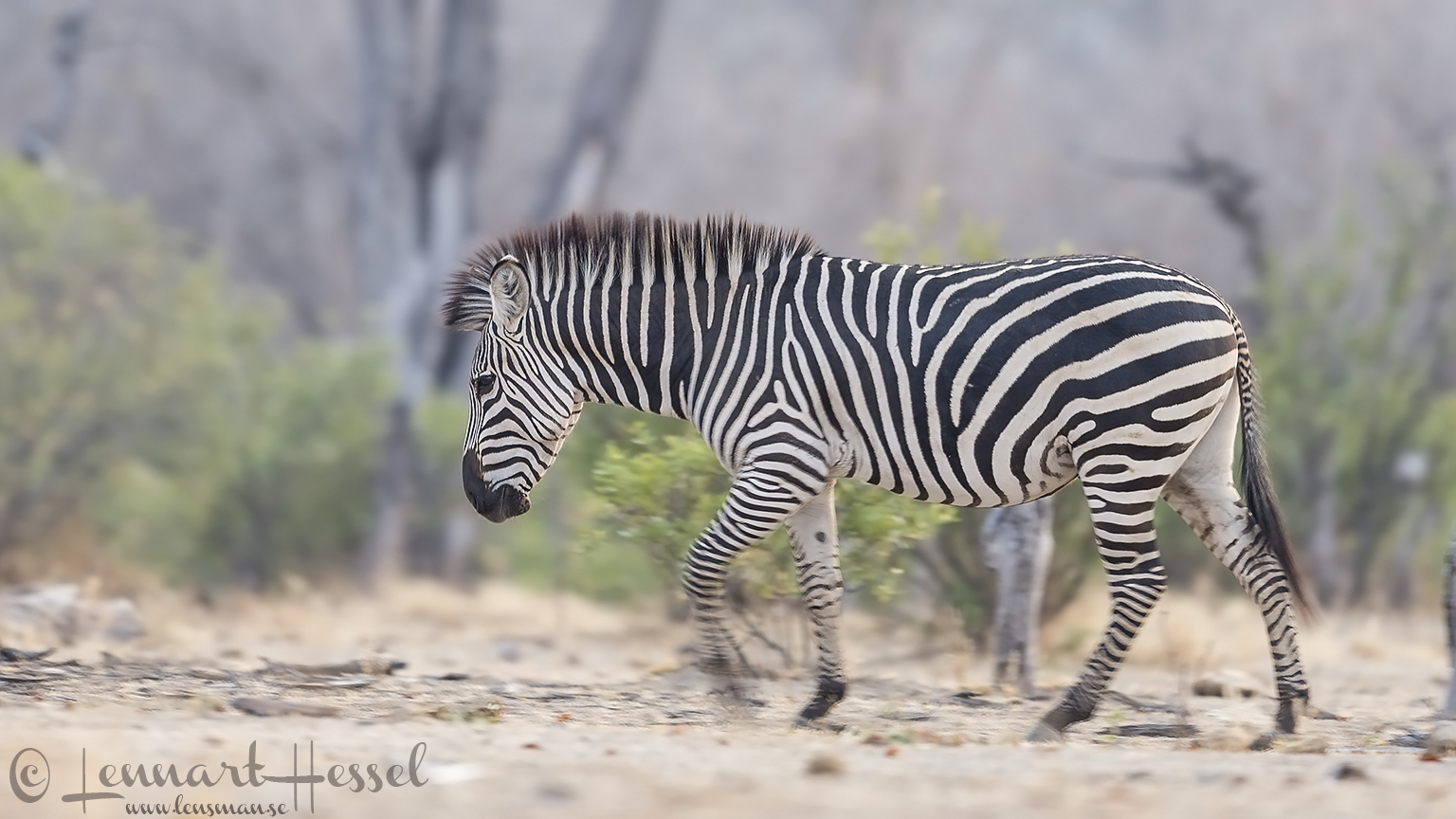Zebra in Mana Pools 2015 Mana Pools National Park