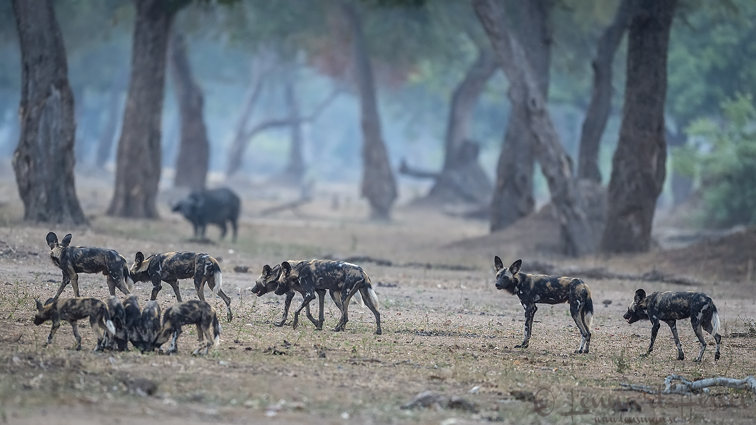 """Painted Dogs and Dagha Boy """"the hunt"""" Mana Pools National Park"""