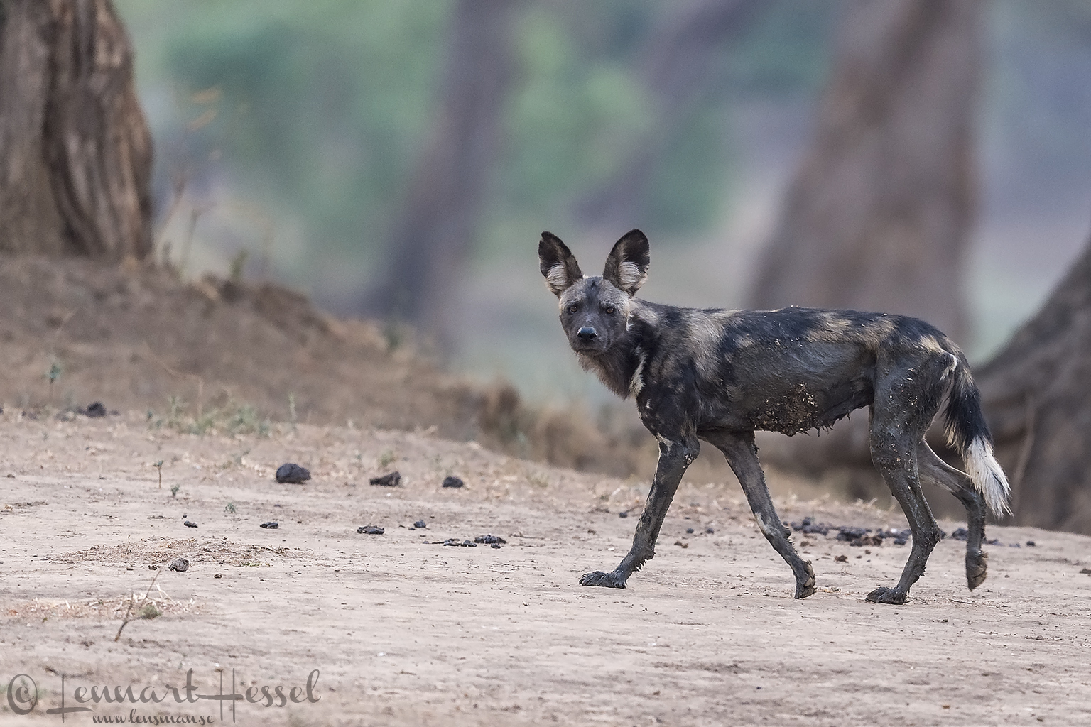 """Painted Dog look """"the hunt"""" Mana Pools National Park"""