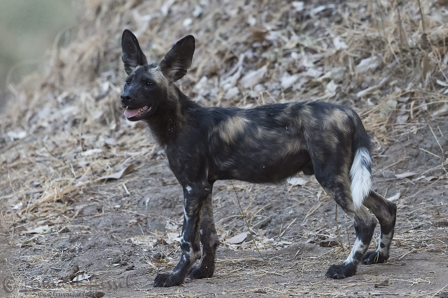 """Painted Dog pup """"the hunt"""" Mana Pools National Park"""