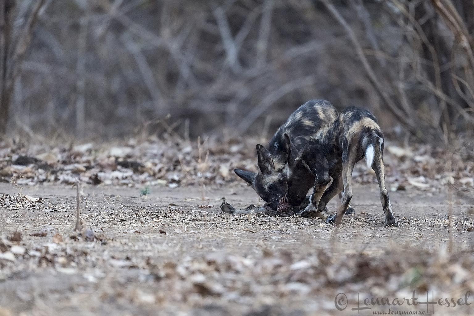 """Painted Dog pups at kill """"the hunt"""" Mana Pools National Park"""
