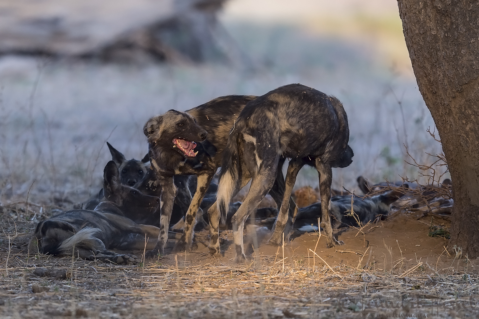 """Painted Dog greet """"the hunt"""" Mana Pools National Park"""