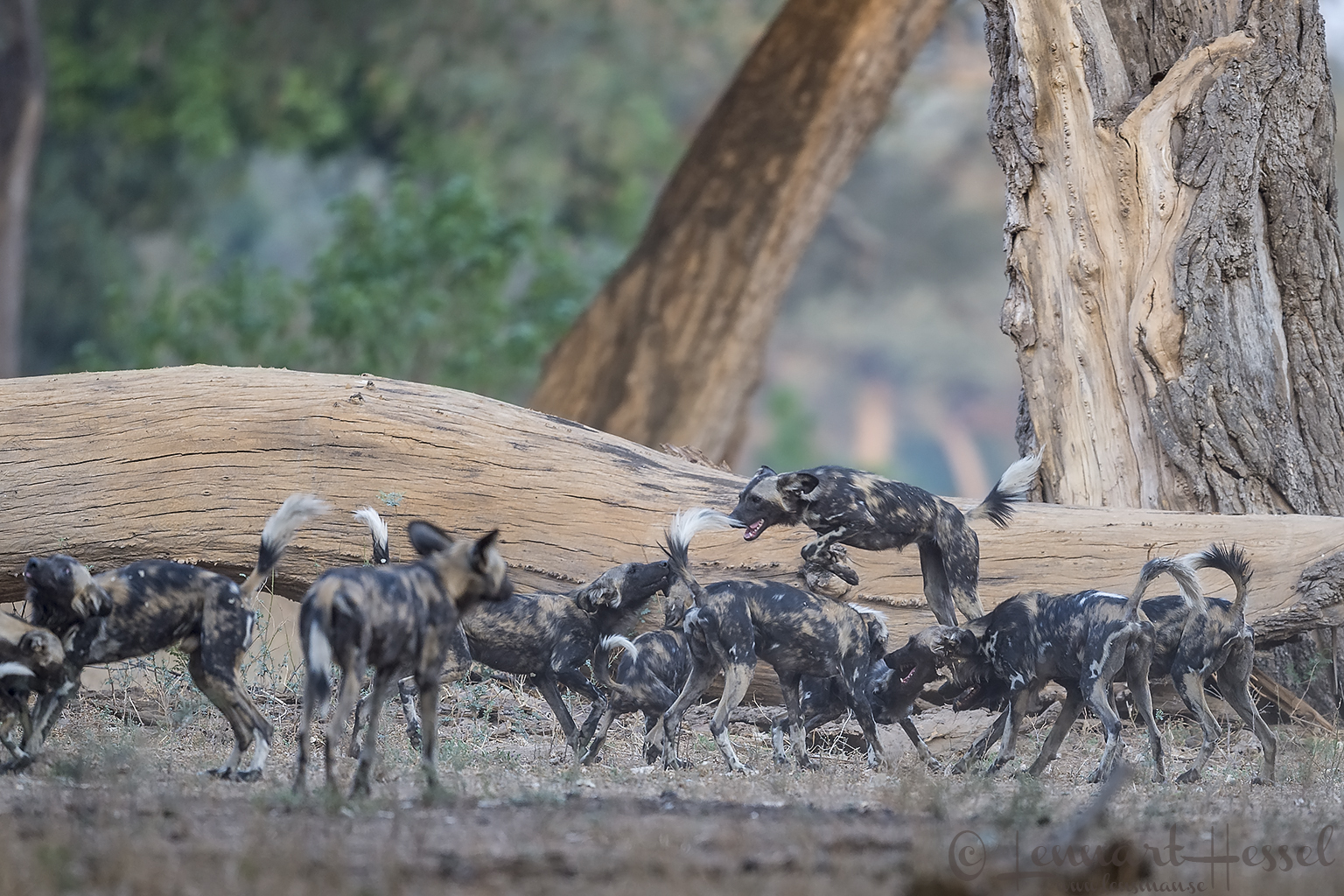 """Jumping Painted Dog """"the hunt"""" Mana Pools National Park"""