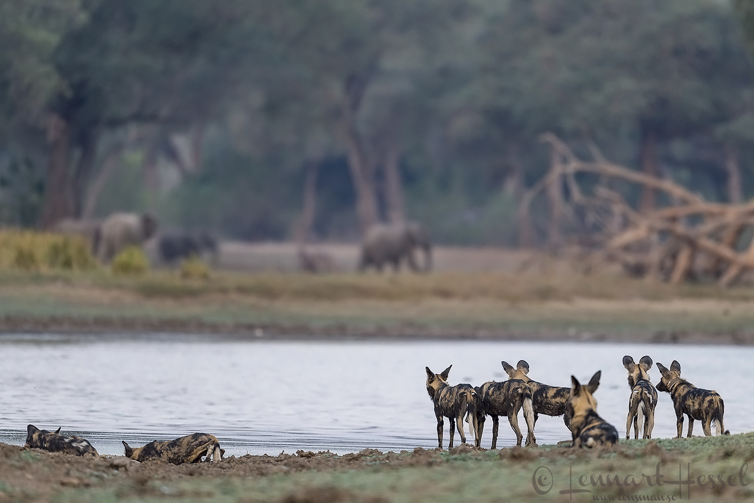 """Painted Dogs, water and elephants """"the hunt"""" Mana Pools National Park"""